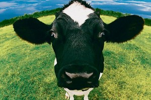Close-up+of+Cow